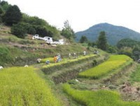 棚田の稲刈り